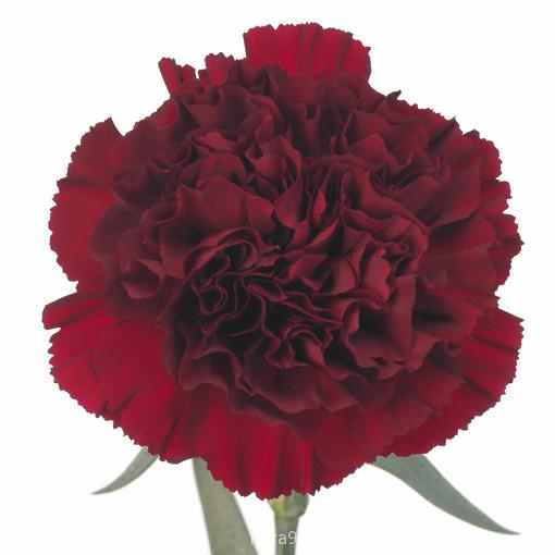 Заказ цветов оптом гвоздики заказ цветов в великом новгороде до 500