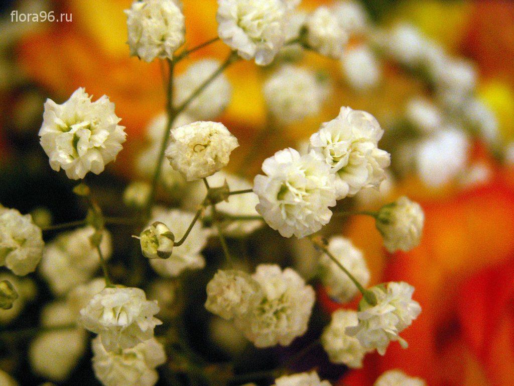 Цветок гипсофила и уход